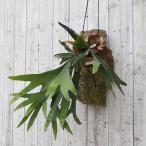 観葉植物/コウモリラン ネザーランド コルク仕立て 大型タイプ