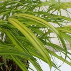 山野草の苗/フウチソウ:斑入り風知草2.5号ポット