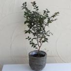 果樹の苗/ジャボチカバ/ウードン ラウンドバンドル グレイカゴセット
