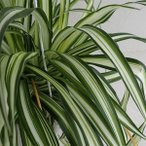 観葉植物/観葉植物5号吊鉢:オリヅルラン中白斑入り