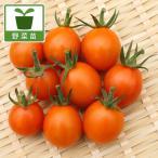 野菜の苗/ミニトマト:高糖度ミラクルリッチ3号ポット 2株セット