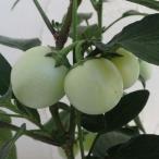 果樹の苗/ペピーノ実付き6号鉢植え