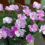 草花の苗/なでしこ:ピンクパフューム(ピンクの香水)3号ポット 2株セット