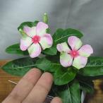 草花の苗/ニチニチソウ:シャガール3.5号ポット