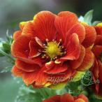 山野草の苗/キンバイ:牡丹咲き紅花キンバイ3号ポット