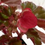 草花の苗/ベゴニア(木立性):リッチモンデンシス3号ポット 2株セット
