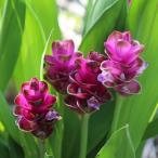 クルクマ:紫苑4号鉢植え