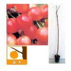 果樹の苗/サクランボ:なんよう(南陽)4号ポット
