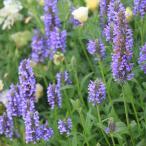 Yahoo!園芸ネット草花の苗/棚卸セール ネペタ:ネルボーサ ブルー3〜3.5号ポット* 6株セット