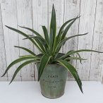 観葉植物/ギフトに アガベ(リュウゼツラン):ベネズエラ5号鉢植え/ブリキダストボックス(直径25cm)