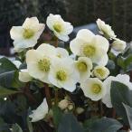 クリスマスローズ:*HGC Ice N'roses 氷の薔薇 ホワイト5号ポット