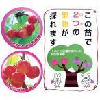 果樹の苗/ハイブリッドプランツ:サクランボ(佐藤錦と高砂)7号鉢植え