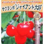 果樹の苗/サクランボ:ジャイアント大将4.5号ポット