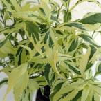 草花の苗/ユーパトリウム:ピンクフロスト3.5号ポット