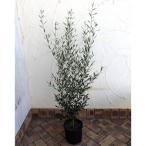 果樹の苗/オリーブ:エルグレコ7号鉢植え