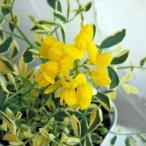 草花の苗/コロニラ:バレンティーナ・バリエガータ(斑入りエニシダ)3号ポット 2株セット