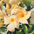 Yahoo!園芸ネット草花の苗/棚卸セール マンデビラ:サンパラソルアプリコット3.5号ポット