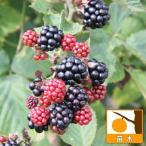 果樹の苗/木いちご(キイチゴ):ブラックベリー チェスター3〜3.5号ポット