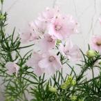 草花の苗/デルフィニウム:さくらひめ3.5号ポット