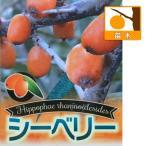 果樹の苗/シーベリー(沙棘・サジー):受粉用オス木6号ポット
