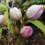 花木 庭木の苗/茶色い蕾からピンクを帯びた芳香のある花 カラタネオガタマ ミケリア:ミックスドアップミス6号ポット