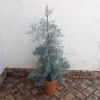 Yahoo!園芸ネット花木 庭木の苗/棚卸セール コニファー(クプレッサス・アリゾナイトスギ):ブルーアイス8号ポット樹高約1m
