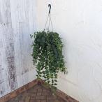観葉植物/エスキナンサス:モナリザ7号吊鉢植え