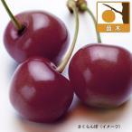 果樹の苗/サクランボ:アメリカンチェリー4号ポット