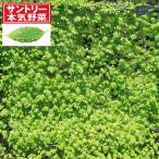 野菜の苗 エコゴーヤ3号ポット