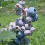 果樹の苗/ブルーベリー:パウダーブルー5号ポット