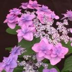 花木 庭木の苗 / ヤマアジサイ:ミヤマヤエムラサキ(深山八重紫)3.5号ポット