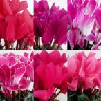 Yahoo!園芸ネットお買い得シクラメン:花色ミックス5号鉢植え
