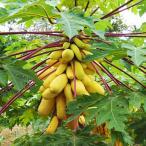 果樹の苗/パパイヤ:ゴールデンスイートパパイヤ3.5号ポット