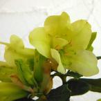 花木 庭木の苗/西洋シャクナゲ:クリソマニカム5号ポット