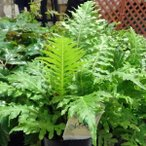観葉植物/ブレクナム(ロマリア) シルバーレディー3号ポット