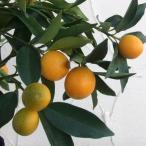 果樹の苗/キンカン:プチマルキンカン4〜5号ポット