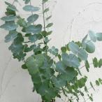 花木 庭木の苗/ユーカリ:シネレア(銀丸葉)3号ポット