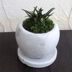 観葉植物/ギフトに 万年青 (おもと):群雀(ムラスズメ)マルモボウル白(直径10cm)受け皿付き