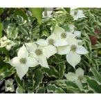 花木 庭木の苗/ヤマボウシ:ウルフアイ樹高1.5m根巻き