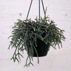 観葉植物/リプサリス:ピロカルパ5号鉢植え