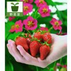 Yahoo!園芸ネット野菜の苗/棚卸セール 四季なりイチゴ・トスカーナ3号ポット 6株セット