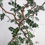 観葉植物/ソフォラ :リトルベイビー3号ポット