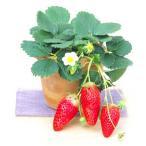 野菜の苗/イチゴ:あきひめ(章姫)3号ポット 6株セット