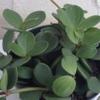 観葉植物/ぺぺロミア :ホープ3.5号ポット
