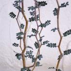 観葉植物/ソフォラ ミクロフィラ3号ポット