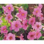 毎年花が咲く球根 インカルビレア ピンク 1球 ピンク