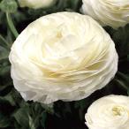 草花の苗/ラナンキュラス:マシェ・ホワイト3.5号ポット 2株セット