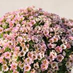 草花の苗 ペチュニア ブリエッタピーチレース3号ポット