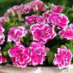 草花の苗 ペチュニア 花衣 紅水晶3.5号ポット