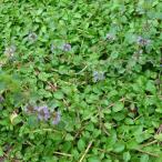 ペットの虫よけやグランドカバーに 3〜11月まき(周年も可能)ハーブのタネ ペニーロイヤルミントの種